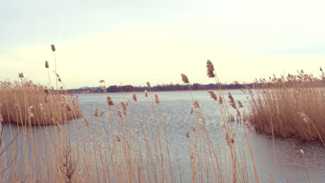 lake bulrush - reed grass family stock videos & royalty-free footage
