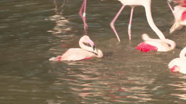 lake district flamingos allowed outside again after bird flu scare; england: cumbria: lake district: ext flamingos released from enclosure flamingos... - walking in water stock videos & royalty-free footage