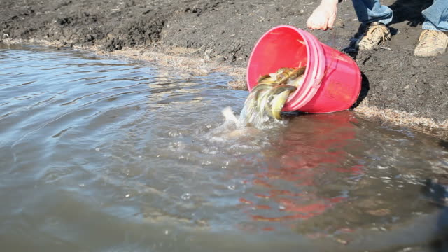 lake fish stocking with yellow perch - releasing stock videos & royalty-free footage