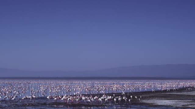 WS Lake Nakuru with Flamingo flock feeding in foreground
