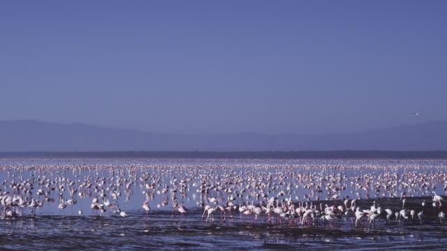 WS PAN Lake Nakuru with Flamingo flock