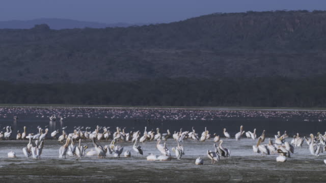 WS PAN Lake Nakuru with Great White Pelicans in foreground and flamingoes on lake