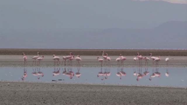 lake natron in tanzania is the main breeding ground for lesser flamingo in africa but it is under threat lake natron tanzania - aquatisches lebewesen stock-videos und b-roll-filmmaterial