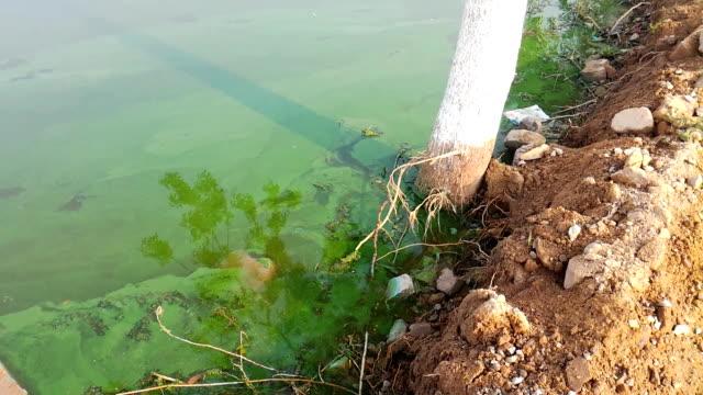 lake polluted by green algae - alga verde video stock e b–roll