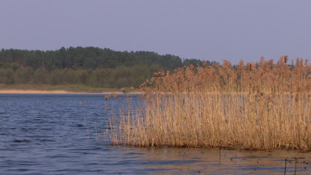lake, reed and wind hd - reed grass family stock videos and b-roll footage
