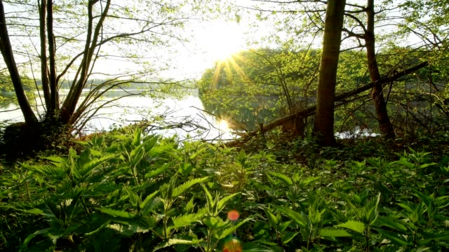 lake shore with stinging nettle at sunrise, niedernberg, bavaria, germany - nettle stock videos & royalty-free footage