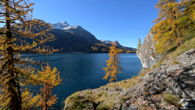 lake silsersee with colorful larch trees in autumn, lake silsersee, sils im engadin, engadin, grisons, switzerland, european alps - snowcapped mountain stock videos & royalty-free footage