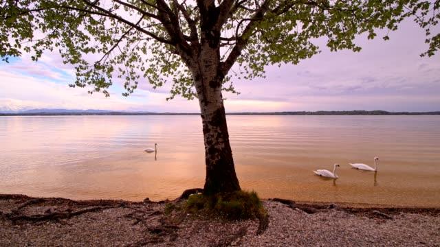 vídeos y material grabado en eventos de stock de lake starnberger see with tree and mute swans, at sunset, ambach, upper bavaria, bavaria, germany - cisne blanco común