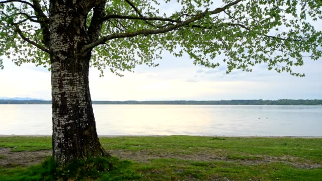 vídeos de stock e filmes b-roll de lake starnberger see with tree, in the evening, ambach, upper bavaria, bavaria, germany - tronco