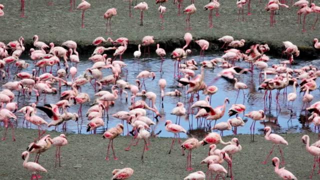 湖、フラミンゴ-アルーシャ国立公園,タンザニア - タンザニア点の映像素材/bロール