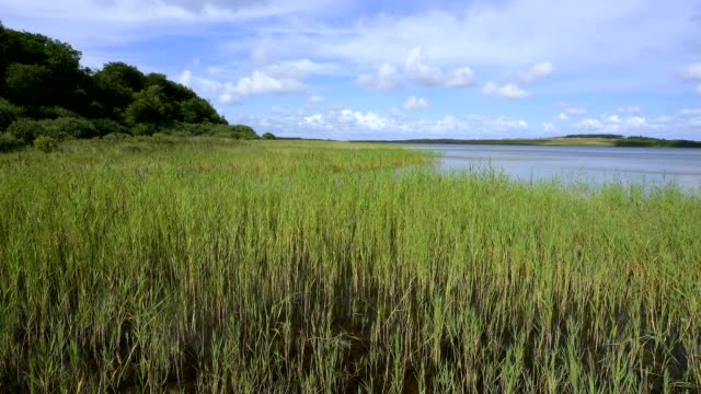 lake with reeds in summer, nors so, thisted, nationalpark thy, north jutland, denmark - reed grass family stock videos & royalty-free footage