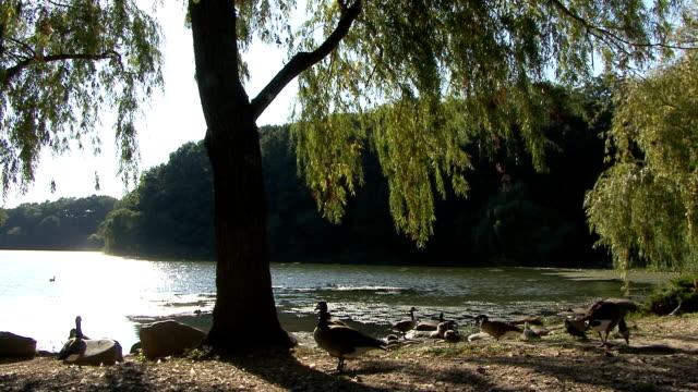 vídeos y material grabado en eventos de stock de pájaros, árboles, ubicado a orillas del lago - cuello humano