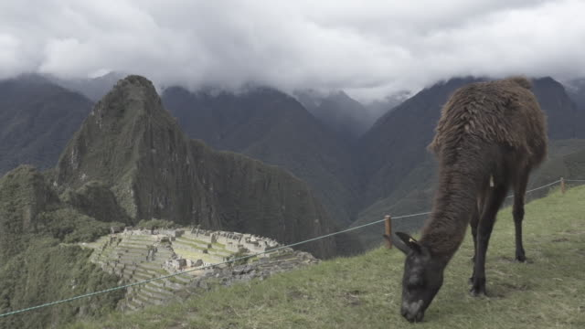 lama / alpaca with machu picchu in the background - latin america stock videos & royalty-free footage