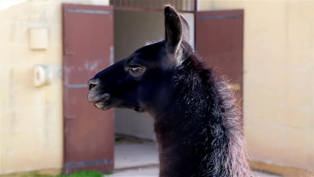 lama in the zoo garden - spitting stock videos & royalty-free footage
