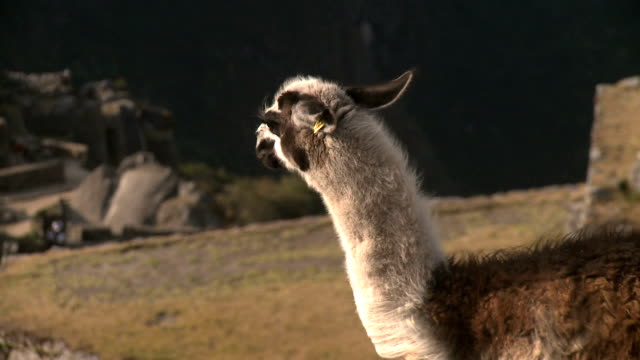 lama of machu picchu - animal family stock videos and b-roll footage