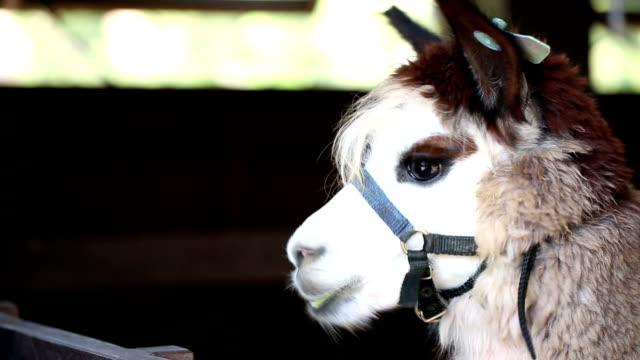 lama sheep animal - peruvian ethnicity stock videos and b-roll footage