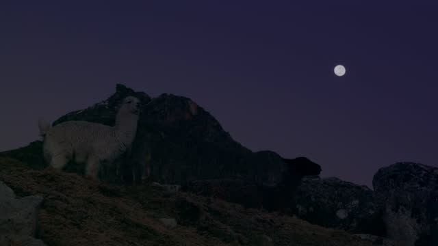 lama standing on hill under night sky and moon in altiplano / bolivia - animal eye stock videos & royalty-free footage