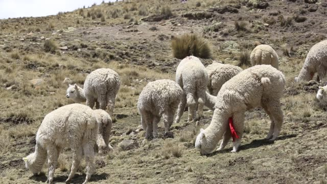 lama's grazing on the altiplano above el alto, bolivia. - bolivia stock videos & royalty-free footage