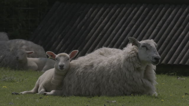 a lamb and a sheep with a large woolly coat pant as they rest in a field, uk. - animal family stock videos & royalty-free footage