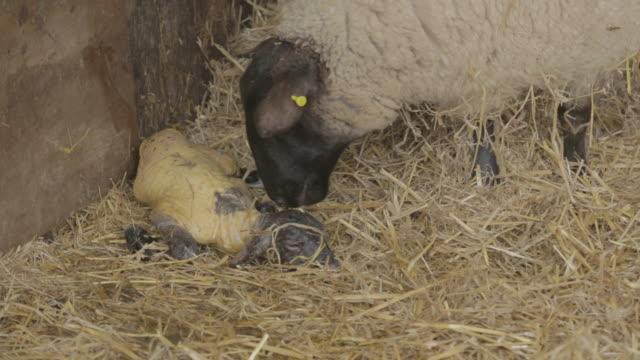 lamb being born and licked by mother - 出産点の映像素材/bロール