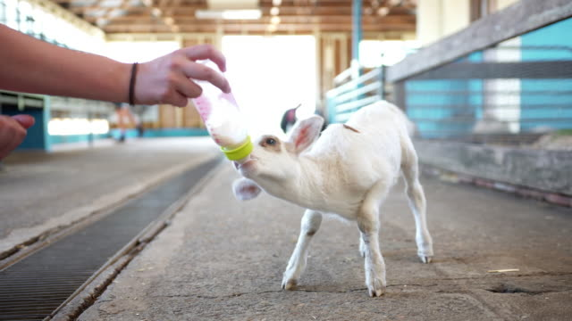 Lamb being fed with a bottle of milk