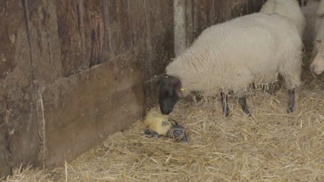 lamb being licked by mother after birth - lamb animal stock videos and b-roll footage