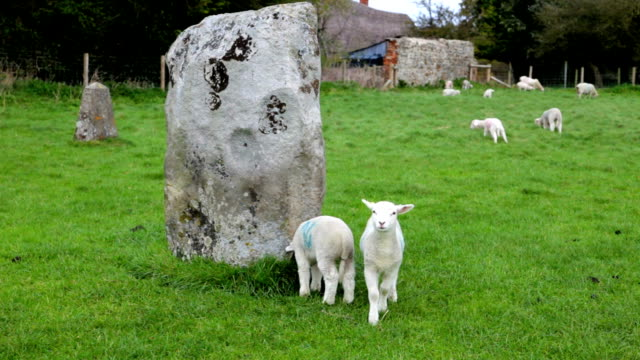 lamb bleating at avebury stone circle - mpeg video format stock videos & royalty-free footage