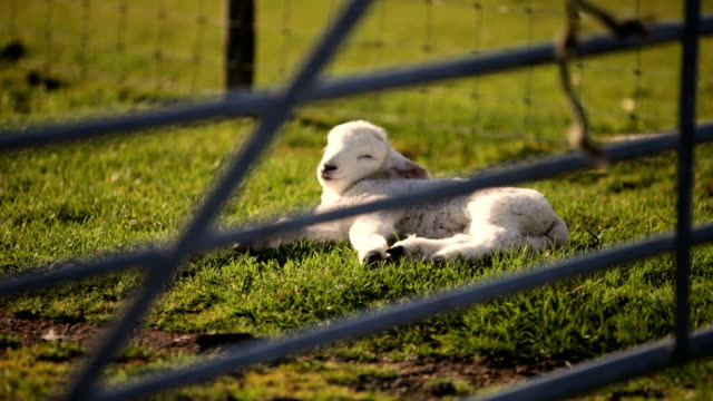 lamb enjoying the spring sun - one animal stock videos & royalty-free footage