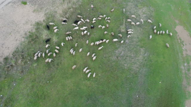 lamb family aerial view - livestock stock videos and b-roll footage