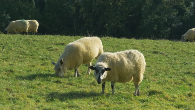 lamb feeding in meadow - sheep stock videos & royalty-free footage