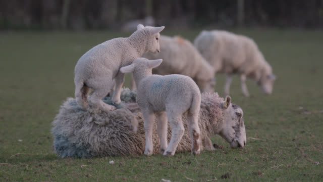 lamb jumps onto mother's back in field, wales - lamb animal stock videos and b-roll footage
