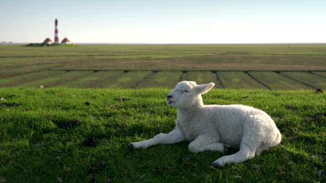 vidéos et rushes de lamb ruminating at sunset - mouton