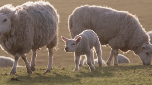 Lamb runs to mother in field, Wales