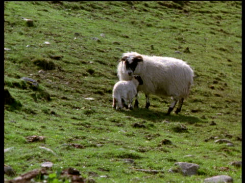 lamb runs up to ewe to feed - female animal stock videos & royalty-free footage
