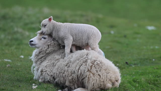 lamb standing on ewe, scotland, uk - lamb animal stock videos and b-roll footage