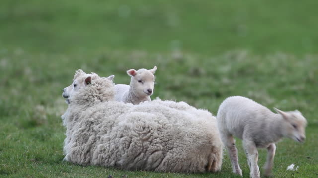lamb standing on ewe, scotland, uk - sheep stock videos & royalty-free footage