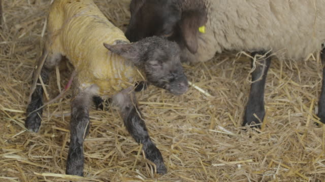 lamb taking first steps - first steps stock videos & royalty-free footage