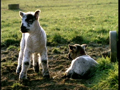 mcu 2 lambs, 1 standing looking to camera, 2nd one lying down away from camera, spring - lamb animal stock videos and b-roll footage