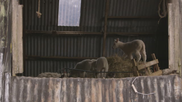 lambs in a barn clamber on and eat hay, uk. - nutztier oder haustier stock-videos und b-roll-filmmaterial