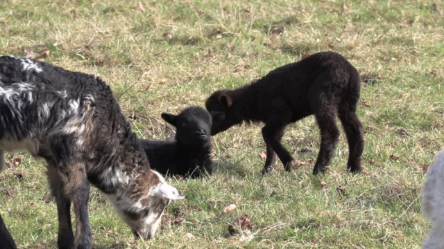 lambs in close up - hd format stock videos & royalty-free footage