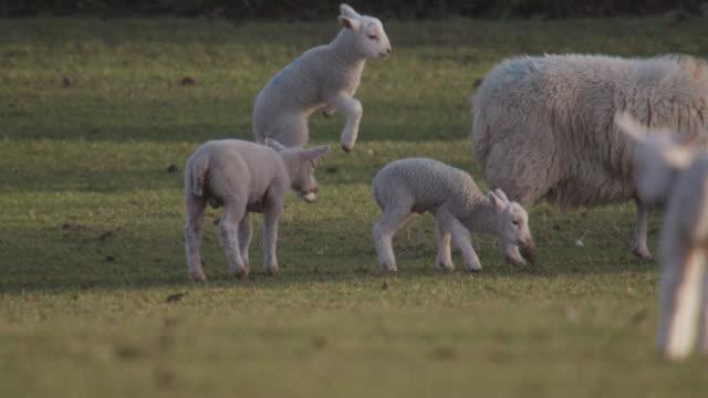 lambs jump and gambol in field, wales - lamb animal stock videos & royalty-free footage