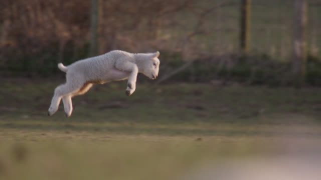 vídeos de stock e filmes b-roll de lambs jump and gambol in field, wales - país de gales