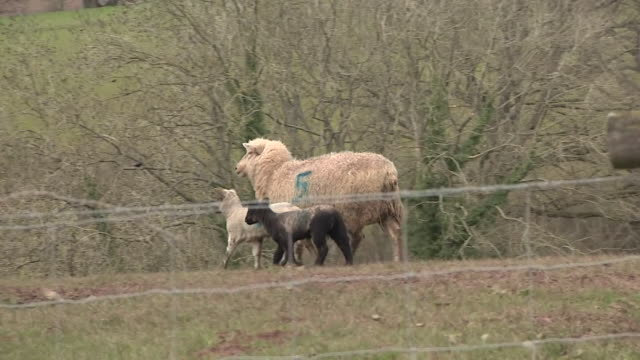 lambs on farm during lambing season - lamb animal stock videos & royalty-free footage