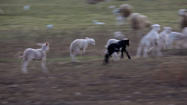 lambs playing in field - comunidad foral de navarra stock videos and b-roll footage