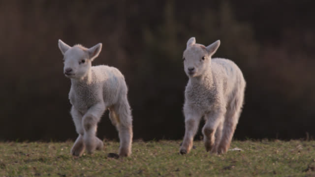 lambs run in field, wales - flock of sheep stock videos & royalty-free footage