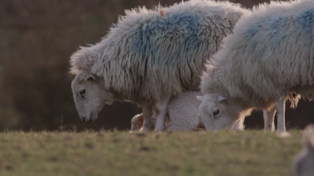 vídeos de stock e filmes b-roll de lambs run to mother in field, wales - país de gales