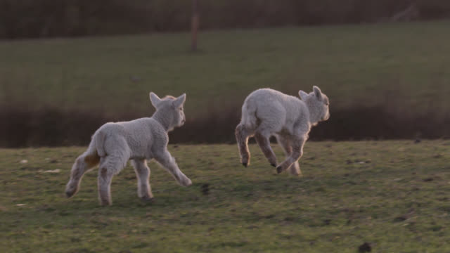 Lambs run to mother in field, Wales