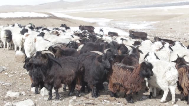 lambs stand in a catch pen in tosontsengel, zavkhan province, mongolia, on saturday, march 11 a herd of sheep and goats graze in murun, khovsgol... - livestock stock videos & royalty-free footage