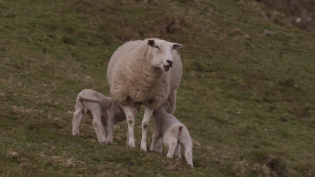 lambs suckle from domestic sheep, cumbria, england - lamb animal stock videos and b-roll footage