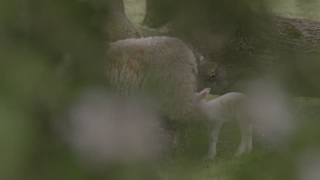 lambs suckle from their mother under a tree, uk. - sheep stock videos & royalty-free footage